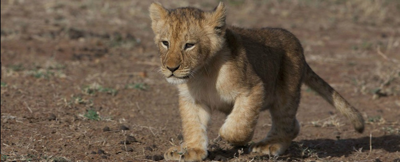 african-cats from disney nature